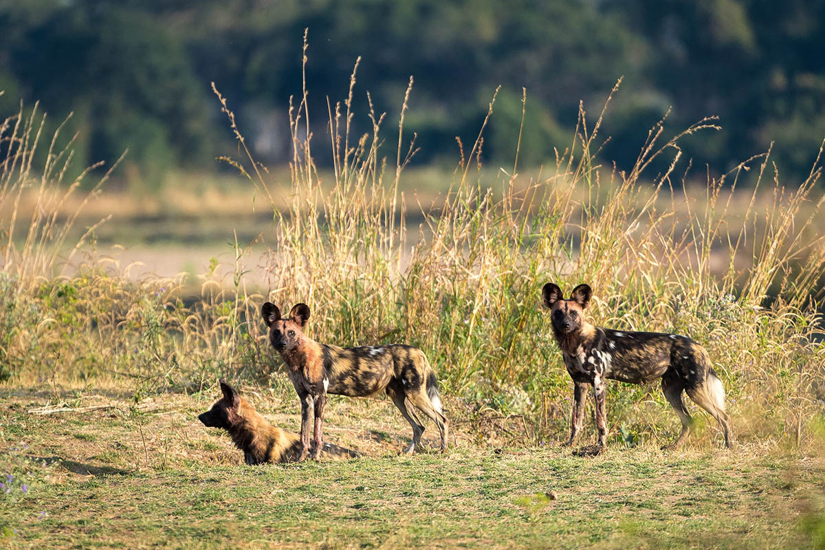 African Wild Dogs in South Luangwa photo credit Robin Page