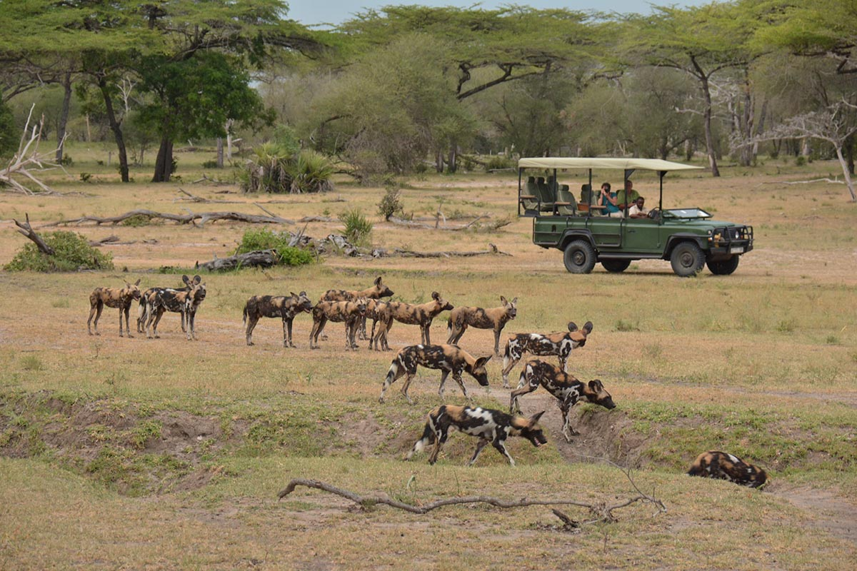 Painted Dogs in Tanzania, Private Game Drive Safari | Luxury Tanzania Safari Holiday