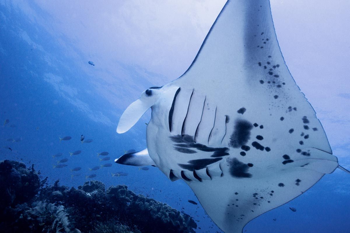 Swimming with manta rays in Indonesia's Raja Ampat Islands