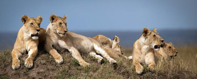 Dynasties BBC Lions in the Mara