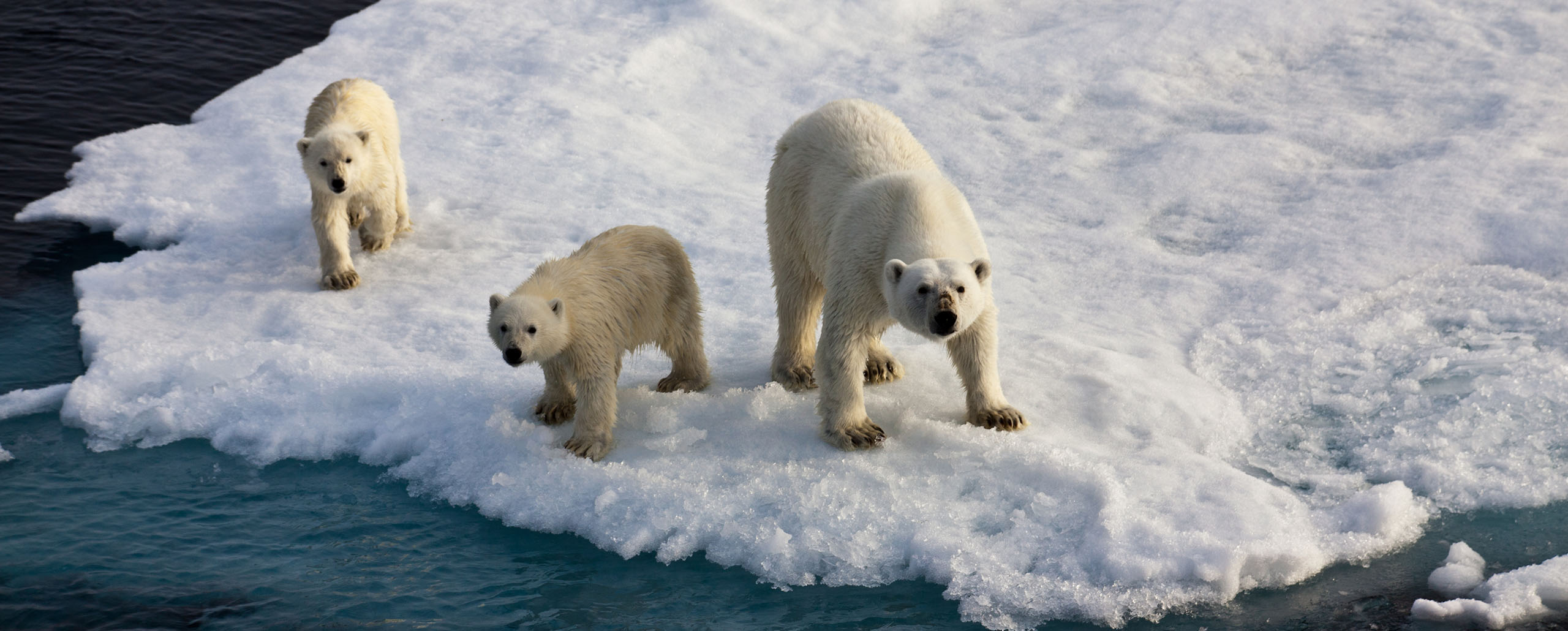 Encountering polar bears in the Arctic